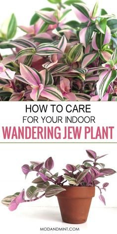 How to Care for an Indoor Wandering Jew plant - Tradescantia - - Wandering Jew plants are fast-growing and look great in a hanging basket or on a plant stand. Make sure not to overwater and give your plant plenty of light and humidity. Hanging Plants, Potted Plants, Garden Plants, Plants In Pots, Indoor House Plants, Easy House Plants, Garden Shrubs, Plant Pots, Cactus Plants