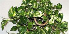 Potos (potosovec zlatý) Gardening, Flowers, Plants, Catalog, Floral, Lawn And Garden, Plant, Royal Icing Flowers, Florals