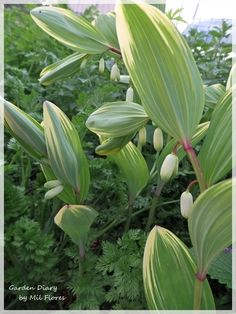 """""""Solomon's Seal """"  Love these small bell-like flowers underneath the leaves. ♡"""