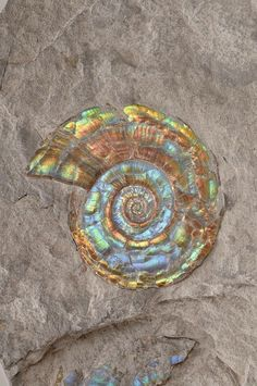 Shell in a rock mother of pearl shine