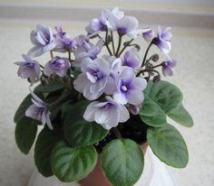 Amadie Trail (M. Perennial Flowering Plants, Herbaceous Perennials, Indoor Flowers, Indoor Plants, Saintpaulia, Miniature, Live Plants, Trail, My Flower