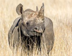 Thanks to relocation efforts by conservationists and the local community, black rhinos are back in Kenya. In the 1960s, black rhinos once numbered 70,000 but now, there are only between 4,000 to 5,...