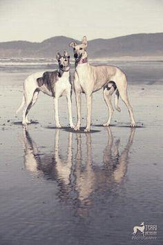 Greyhounds At the beach