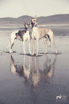 Greyhounds At the beach