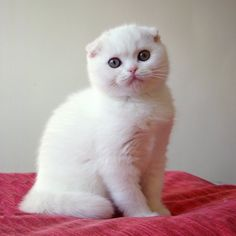This Little White Scottish Fold Kitten is Totally Sweet, Pretty, and Adorable. I Love Cats, Crazy Cats, Cool Cats, Pretty Cats, Beautiful Cats, White Kittens, Cats And Kittens, Scottish Fold Kittens, Cat Breeds