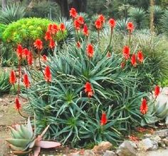 Torch Aloe Aloe arborescens  Aloe arborescens, commonly known as the Krantz Aloe, belongs to the Aloe genus, which it shares with the well known and studied Aloe vera plant