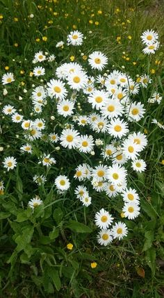 Wonderful Flowers, Happy Flowers, Flowers Nature, White Flowers, Beautiful Flowers, My Flower, Flower Art, Daisy Love, Flower Farmer