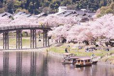 219:「4月6日に訪れました。満開の桜は錦帯橋によく似合っている気がします。」@吉香公園・錦帯橋