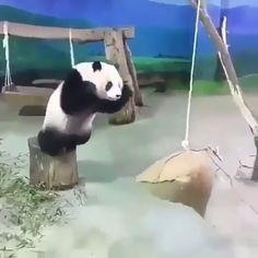 Wait for the end😂 - Aww. pandas don't jump! pandas don't jump! Cute Little Animals, Cute Funny Animals, Cute Dogs, Cute Animal Videos, Funny Animal Pictures, Panda Funny, Animal Jokes, Cute Creatures, Panda Bear