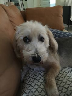 Moochie Australian Terrier Mix | Pawshake