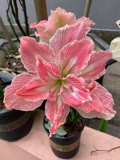 Beautiful Flowers Images, All Flowers, Flower Images, Exotic Flowers, My Flower, Beautiful Roses, Iris Garden, Garden Plants, Bulbous Plants