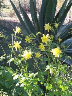 Yellow Columbine-Desert Botanical Garden
