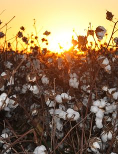 COTTON SUNSET -MISSISSIPPI DELTA-pic-gary walters