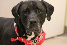 NAME: Sasha  ANIMAL ID: 28007105  BREED: boxer mix  SEX: female  EST. AGE: 5 yr  Est Weight: 86 lbs  Health: heartworm neg  Temperament: dog friendly, people friendly  ADDITIONAL INFO: RESCUE PULL FEE: $49 Intake date: 6/3  Available: Now