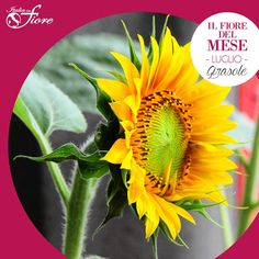 """Il suo nome generico è """"Helianthus"""" e deriva da due parole greche """"helios"""" (sole) e """"anthos"""" (fiore) in riferimento alla tendenza di questa pianta a girare sempre il capolino verso il sole, comportamento noto come eliotropismo."""