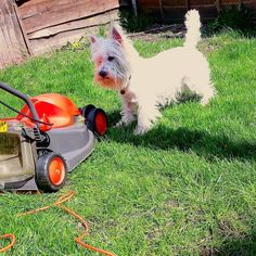 Meet my enemy the lawn mower  when it comes out I bark at it constantly until it goes away again  by thisgirllucx