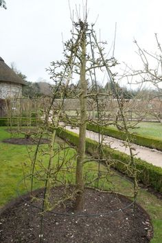 Quincunx at West Dean Feb 2012  The no prune (well almost) method of tree training!