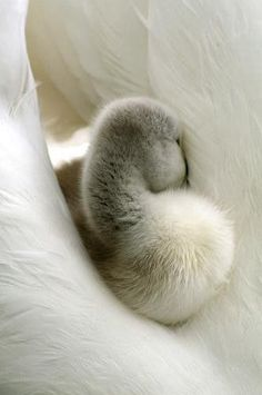 Shy swan. #cute  ATTACKOFTHECUTE.COM