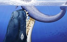 Un Cachalot Géant, dévoreur de baleines