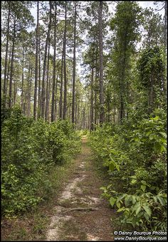 """Pine woods of Louisiana.  Ah yes, when my husband would come home from Saudi he would always say, """"This may not be the most beautiful place for everyone but when I come home these rolling hills and pine trees are the most beautiful place in the world to me""""."""