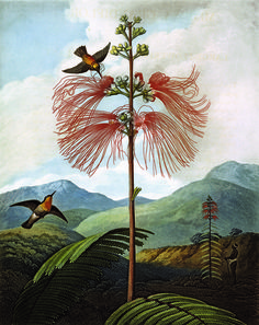 Philip Reinagle, Large Flowering Sensitive Plant from Robert John Thornton's The Temple of Flora, 1799. (Photo: Natural History Museum, London/ Science Photo Library/ Courtesy Plant: Exploring the Botanical World, Phaidon 2016) See Dazzling Botanical Imagery Through the Ages | Atlas Obscura