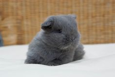 Bunny World ( Ol Fashion, Fashion Books, Adopt A Bunny, Holland Lop Bunnies, Baby Dumbo, Pet Home, New Baby Products, Adoption, Rabbit