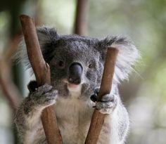 Koalas aren't really bears, but we don't seem to mind.