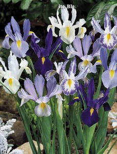 Blue & White Dutch Iris Mix.  I planted these all over the front flower beds and pots a few years back.