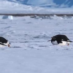 Adélie penguins in Antarctica sliding on their tummies, using their flippers for guidance and their legs for propulsion, a behavior known as tobogganing. Funny Animal Photos, Cute Animal Videos, Cute Funny Animals, Cute Baby Animals, Animals And Pets, Beautiful Birds, Animals Beautiful, Amazing Animals, Cute Penguins