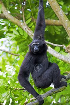 23950919-Siamang-Gibbon-hanging-in-the-trees-in-Malaysia-Stock-Photo.jpg (866×1300)