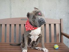 FOXY - A1089759 - - Brooklyn  Please Share:TO BE DESTROYED 09/19/16 **ON PUBLIC LIST** A volunteer writes: Upon meeting Foxy it's impossible not to notice that she has a bad case of cherry eye in one eye, but this girl wants nothing to do with the victim role: what sweet, fun, resilient lady! She was a little reserved when I first met her, but warmed up immediately with treats (she loves them and will sit and lie down for them). Her previous owner tells us she was rel
