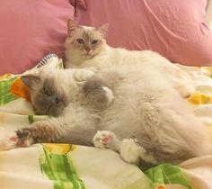Poppy and Mazzy #bff #popcorn #poppylove #minivaniljer #mazarin #birma #birman #breeder #catsofinstagram #chokladochvanilj #pinkalicious #welovecats #we_love_cats #excellent_cats #bestcats_oftheworld #birmavanner