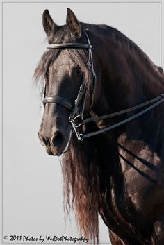 Friesian horse named Black Pearl.