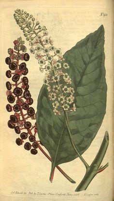 v.23-24 (1806) - Curtis's botanical magazine. - Biodiversity Heritage Library