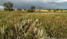 I've been working to rejuvenate our family's prairie south of Aurora, Nebraska for well over a decade.  It's getting there, but it's been anything but a straightforward process.  Every year brings new challenges and surprises.