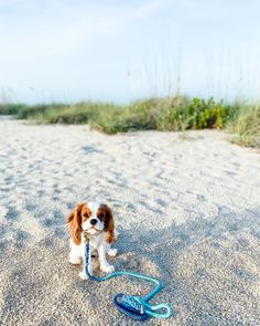 Cavalier King Spaniel, Cavalier King Charles Dog, Cocker Spaniel Puppies, Spaniel Dog, King Charles Spaniel, Cute Little Puppies, Cute Little Animals, Cute Puppies, Dogs And Puppies