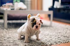 bulldog in a bulldog suit?  Yes please. | Check out Pinerly for the best way to manage your Pinterest account - http://www.pinerly.com/i/8l7ej