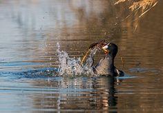 folaga in lotta con un granchio di fiume