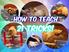 Here you can find tutorial videos for teaching your guinea pig to do tricks, agility, and more! Written tutorials and more information can be found at guinea. Pet Guinea Pigs, Guinea Pig Care, Classroom Pets, Emotional Support Animal, Skinny Pig, Pig Ideas, Pig Stuff, Easy Tricks, Sugar Gliders