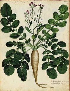 Botanical-Parsnip-Italian-3