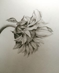 Realistic Flower Drawing, Sunflower Drawing, Sunflower Art, Sunflower Tattoos, Realistic Drawings, Flower Sketches, Art Sketches, Pencil Drawings, Art Drawings