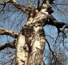"With its long, slender branches that stretch up to the sky, the birch symbolizes the female aspects of nature and is often known as ""the Lady of the Woods.""  Growing up to 100 feet high, it has also been thought of as a ladder that shamans can climb to reach the gods."