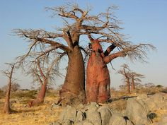 Baobabs in Africa.