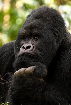 Rwanda Mountain Gorilla ~j Primates, Mammals, Reptiles, Beautiful Creatures, Animals Beautiful, Animals And Pets, Baby Animals, Big Gorilla, Gorillas In The Mist