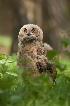 ET Phone home ..... by Henny Egdom van on 500px Eurasian eagle owlet