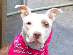 TO BE DESTROYED 07/07/14 Manhattan Center -P My name is JASMINE. My Animal ID # is A1005308. I am a female white and black pit bull mix. The shelter thinks I am about 4 YEARS old.  I came in the shelter as a STRAY on 07/01/2014 from NY 11206, owner surrender reason stated was STRAY.