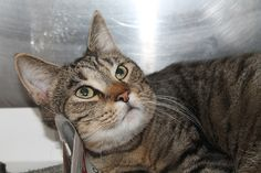 Ken 23640221 - Death Row. Ken is a handsome one year old tabby cat, He is playful and talkative. He likes being around people and would probably go batty for a laser pointer or a wand toy! He has lived with dogs in the past and can't wait to be out of ACCT Philly. https://www.facebook.com/phillyurgents/photos/a.594681920564405.1073741842.196737460358855/815629031803025/?type=3&theater Needs immediate adoption, rescue or foster. (267)-385-3800/email lifesaving@acctphilly.org