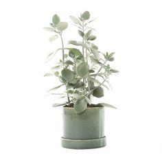 <p>Maak van je huiskamer een exotisch stulpje met deze Kalanchoë. De plant die veel in Madagascar voorkomt is geschikt voor iedereen, of je nu groene vingers hebt of niet. Slechts een klein scheutje water kan (met een beetje geluk) al genoeg zijn om een mooie bloem tevoorschijn te toveren. In de handgemaakte keramieken pot steelt de Kalanchoë zeker de show. De verschillende tinten groen in het glazuur van de pot zorgen voor een mooie 'deep forest' kleur. Een tropische verrassing die pas...