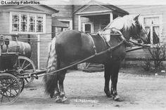 Finnhorse stallion Leivo, born in 1896