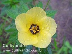 Flor-do-guarujá (Turnera ulmifolia)